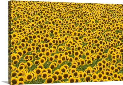 Sunflowers With Ripe Seeds Kansas