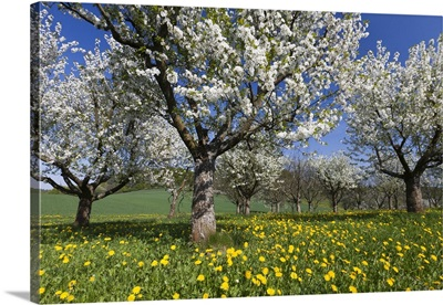 Sweet Cherry orchard in full bloom, Germany