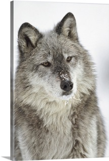 Timber Wolf (Canis lupus) portrait with snow on muzzle, Montana