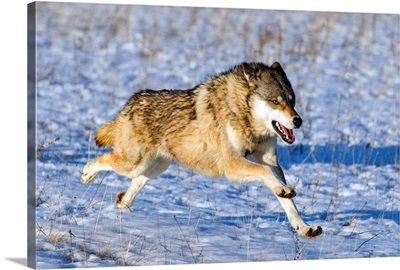 Timber Wolf running in snow, Minnesota