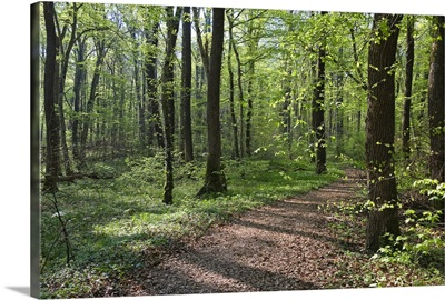 Trail through deciduous forest in spring, Upper Bavaria, Germany