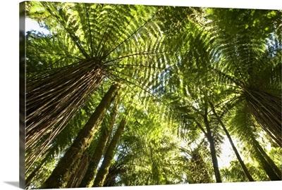 Tree Fern forest near Haast Pass, New Zealand