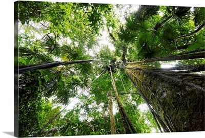 Trees in rainforest looking up into the canopy, Costa Rica