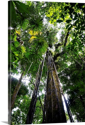 Trees in rainforest looking up towards the canopy, Costa Rica