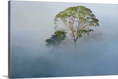 Tualang emergent tree towering above the mist-shrouded canopy, Borneo, Malaysia