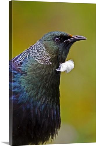 Tui (Prosthemadera novaeseelandiae), Karori Wildlife Sanctuary ...