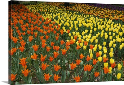 Tulip flower garden, Japan