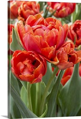 Tulip (Tulipa sp) grand rapids variety flowers