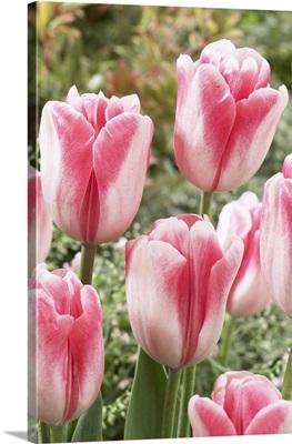Tulip (Tulipa sp) labyrinth variety flowers
