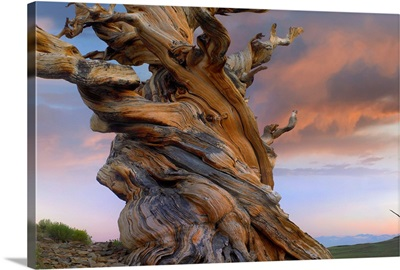 Twisted trunk of an ancient Foxtail Pine tree, Sierra Nevada, California