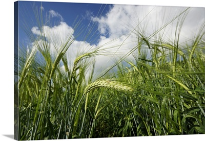 Two-rowed Barley field, Hokkaido, Japan