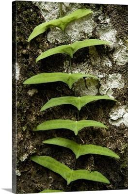 Vine climbing up tree trunk in lowland rainforest, Sabah, Borneo, Malaysia