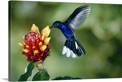Violet Sabre-wing hummingbird feeding on Spiral Flag ginger, Costa Rica