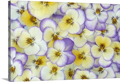 Violet (Viola sp) flowers in white, yellow and purple, Europe and North America