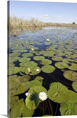 Water Lily (Nymphaea sp) flowering, Okavango Delta, Botswana