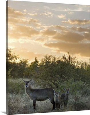 Waterbuck (Kobus ellipsiprymnus) mother and calf, Kruger National Park, South Africa