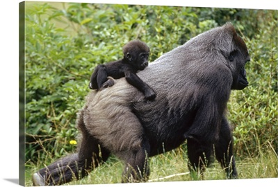Western Lowland Gorilla (Gorilla gorilla gorilla) with baby on its back, central Africa