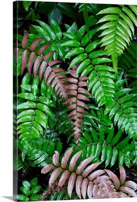 Wet fern fronds in tropical rainforest, Barro Colorado Island, Panama