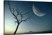 Whistling Thorn (Acacia drepanolobium) and moon, Amboseli National Park, Kenya