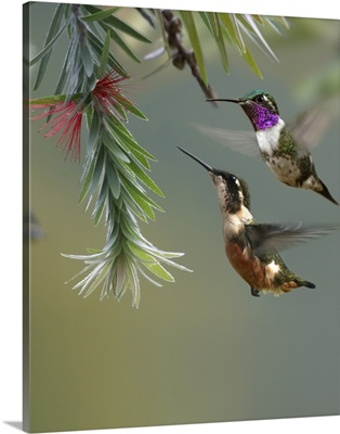 White-bellied Woodstar hummingbird male and female feeding on flower, Costa Rica