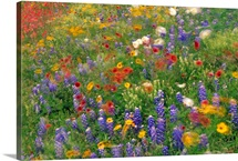 Wildflowers blowing in the wind Hill Country Texas