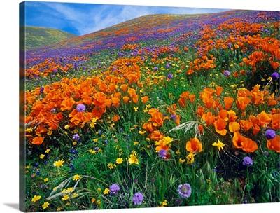 Wildflowers growing on hillside, spring, Antelope Valley, California