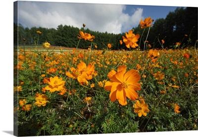 Yellow Cosmos field in flower, Japan