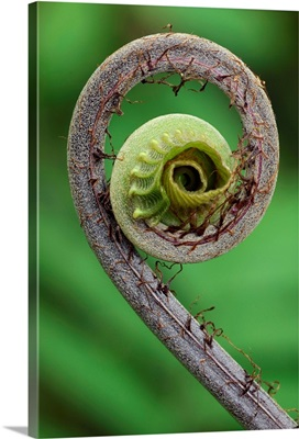 Young rolled-up fern fiddlehead, Braulio Carrillo National Park, Costa Rica