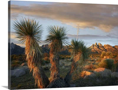 Yucca (Yucca sp) and Organ Mountains near Las Cruces, New Mexico