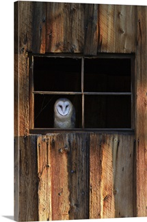 A barn owl, Tyto alba, in the window of a barn