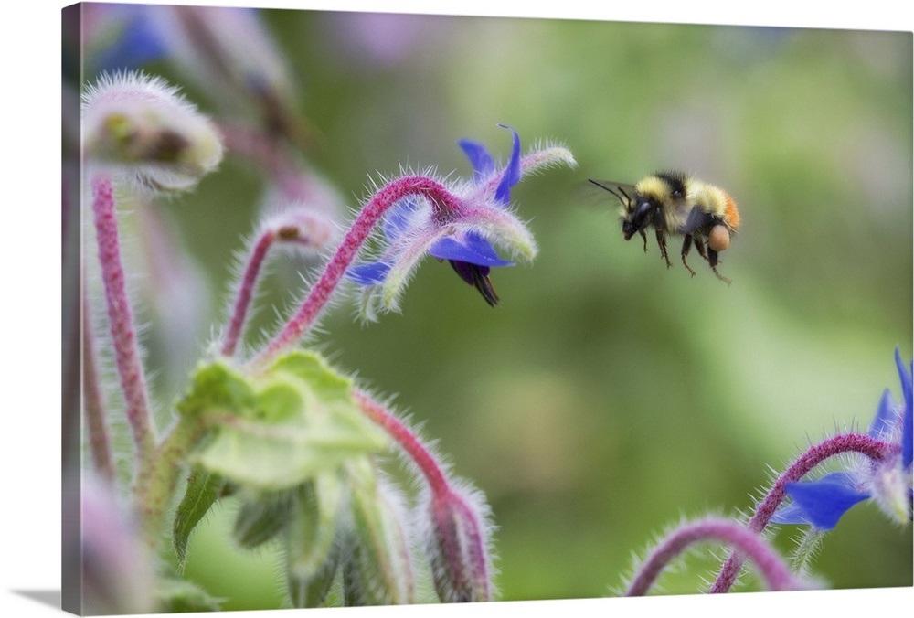 A bee flying near shooting star flowers Wall Art