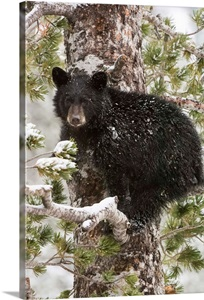 A Black Bear Cub Sits On A Snow Covered Tree Branch
