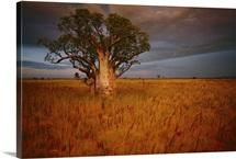 A boab tree stands solitary in the bush near Wyndham, Western Australia