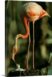 A Caribbean flamingo standing and feeding it's young, Humedal Rio Maximo-Caguey, Cuba