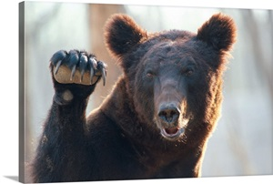 A Close Up Of A Bear With Paw Raised And Claws Exposed
