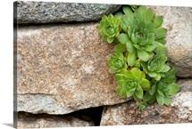 A cluster of houseleeks, Sempervivum species, growing among rocks