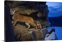 A cougar and her kitten use rock outcrops to provide shelter and cover for hunting