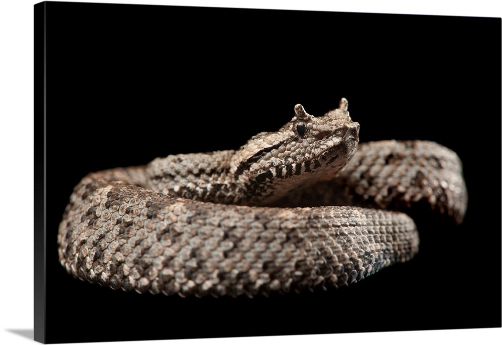 A critically endangered black-tailed horned pitviper at the Los Angeles Zoo