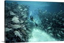 A diver swims through a school of grunts