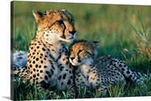 A female African cheetah and her cub, Okavango Delta, Botswana