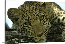 A female leopard, Panthera pardus, resting on a log