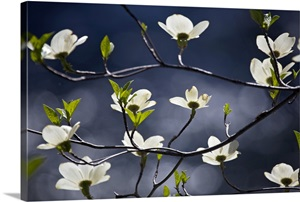 A Flowering Dogwood Tree In Yosemite National Park Wall
