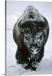 A frost-covered American bison bull (Bison bison) walks through the snow