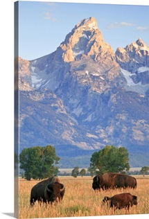 A group of bison pass beneath the Grand Teton in Wyoming