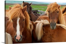 A group of Icelandic horses