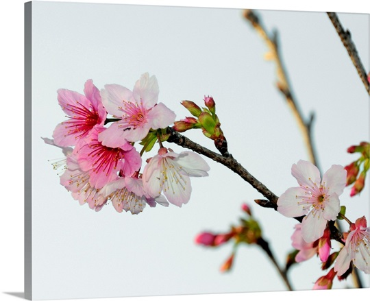 A Japanese cherry tree bursts forth in blossoms Wall Art, Canvas ...