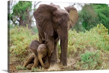 A mother elephant shelters her baby, Samburu National Reserve, Kenya