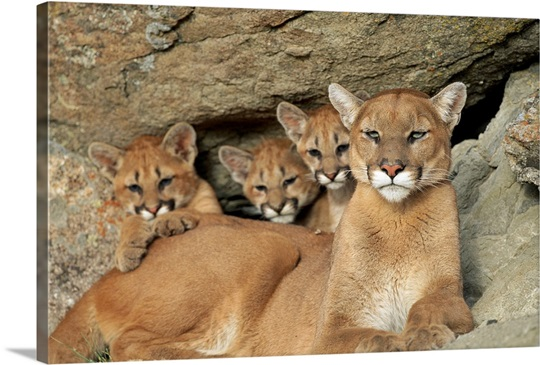 A Mountain Lion Mother With Her Young Sits At A Cave Montana Wall Art Canvas Prints Framed
