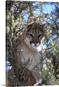 A Mountain Lion Puma Or Cougar Felis Concolor Perched