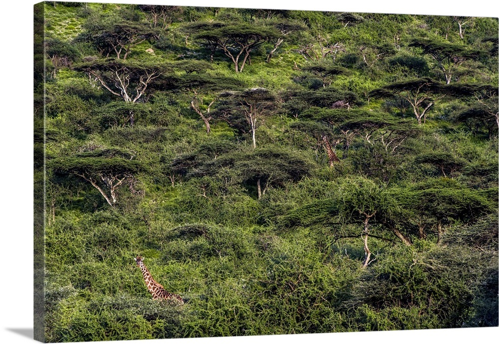 A Pair Of Giraffe Browse On Canopy Leaves In A Dense Acacia Forest